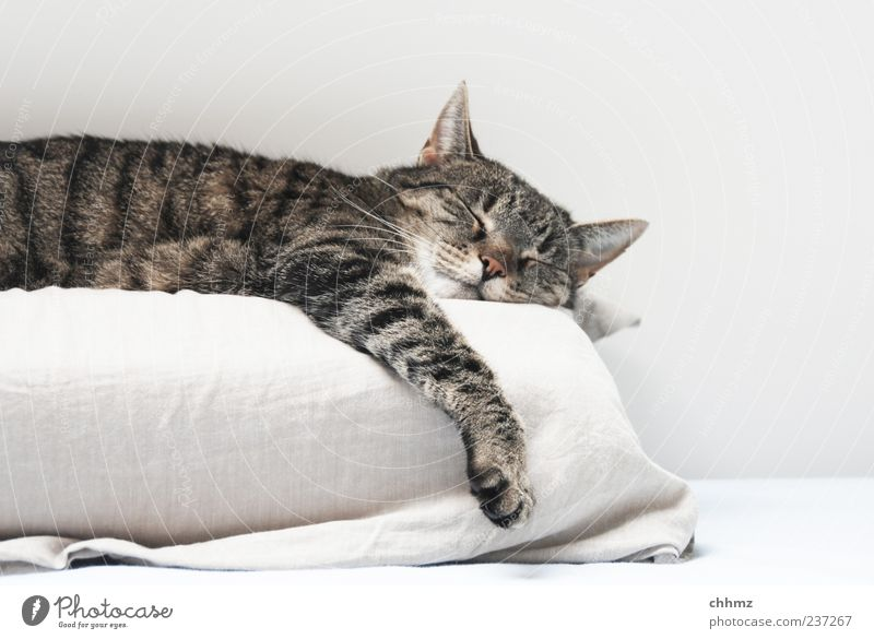 Abhängen Tier Haustier Katze 1 Kissen Bettlaken genießen liegen schlafen ästhetisch kuschlig Gelassenheit ruhig Fell Hauskatze schlaff faulenzen Erholung weiß