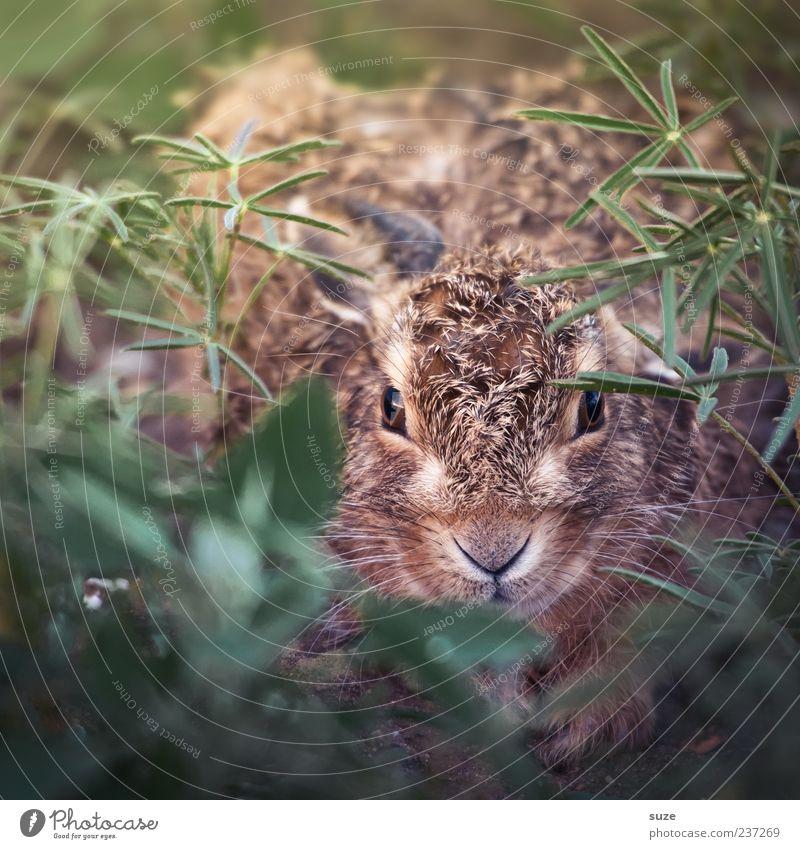 Hanny Bunny schön grün Tier Tierjunges Auge Wiese Gras klein braun Kopf Angst Wildtier niedlich Nase Tiergesicht verstecken