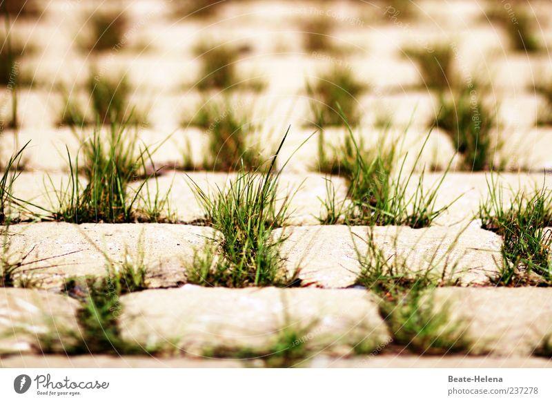 Mustergültig Gras Stein grau grün Grasbüschel regelmässig Symmetrie Grasspitze Pflastersteine Kopfsteinpflaster Farbfoto Außenaufnahme Tag viele Unschärfe