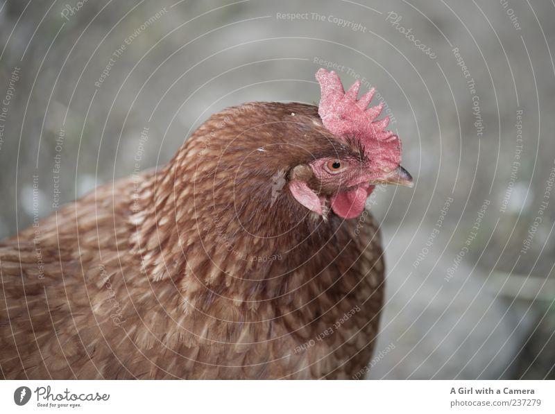 Huhnigunde Tier Nutztier Vogel Haushuhn 1 beobachten Blick schön natürlich braun Menschenleer Textfreiraum links Textfreiraum rechts Textfreiraum oben