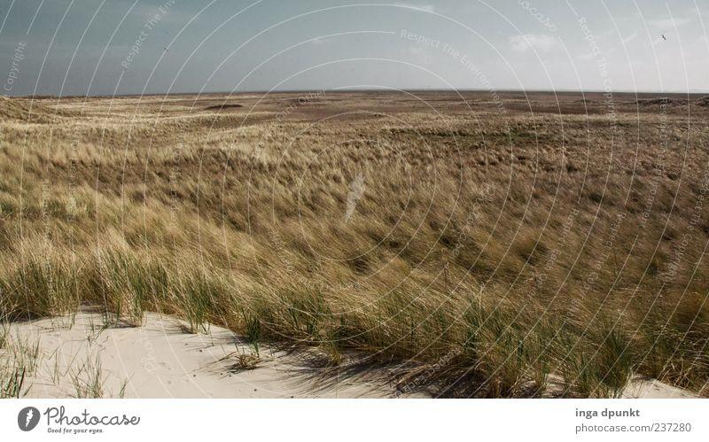 Der Wind weht Ferien & Urlaub & Reisen Tourismus Umwelt Natur Landschaft Pflanze Urelemente Sand Wetter Schönes Wetter Gras Küste Strand Nordsee Düne Dünengras