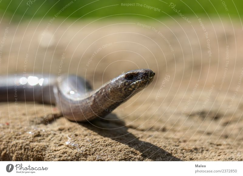 Schlange Reptil Tier Natur Wildtier wild braun Echte Eidechsen blind nah Nahaufnahme krabbeln Lebewesen Detailaufnahme Drache Europa Auge Boden Kopf