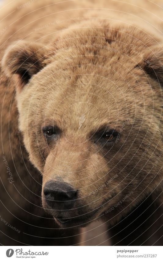 Braunbär Tier Wildtier Tiergesicht Fell 1 braun Bär Farbfoto Nahaufnahme Detailaufnahme Menschenleer Schwache Tiefenschärfe Tierporträt Blick nach vorn Kopf