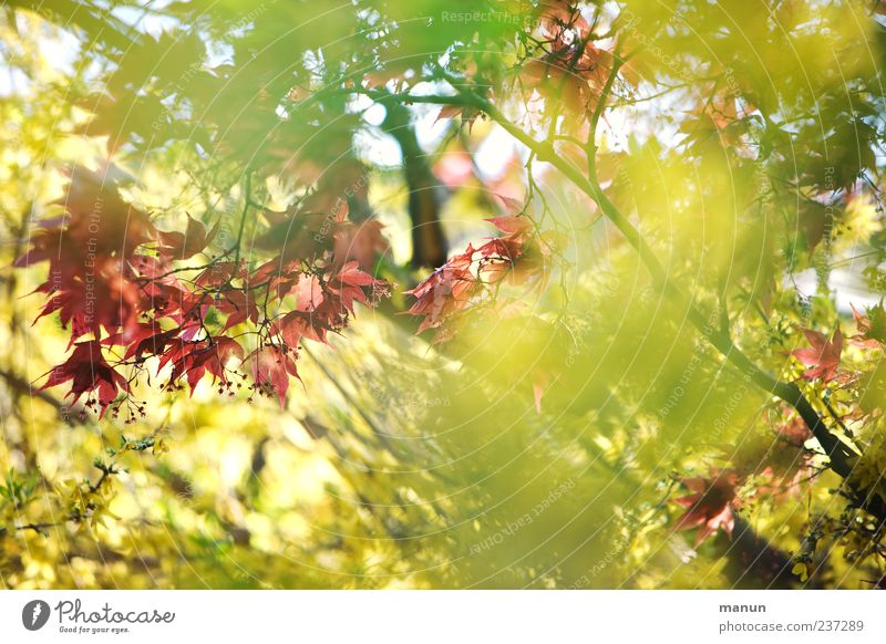 Sunshine Natur Pflanze grün schön rot Blatt gelb Frühling natürlich hell Sträucher Ahornblatt Ahorn Frühlingsgefühle Zweige u. Äste Ahornzweig