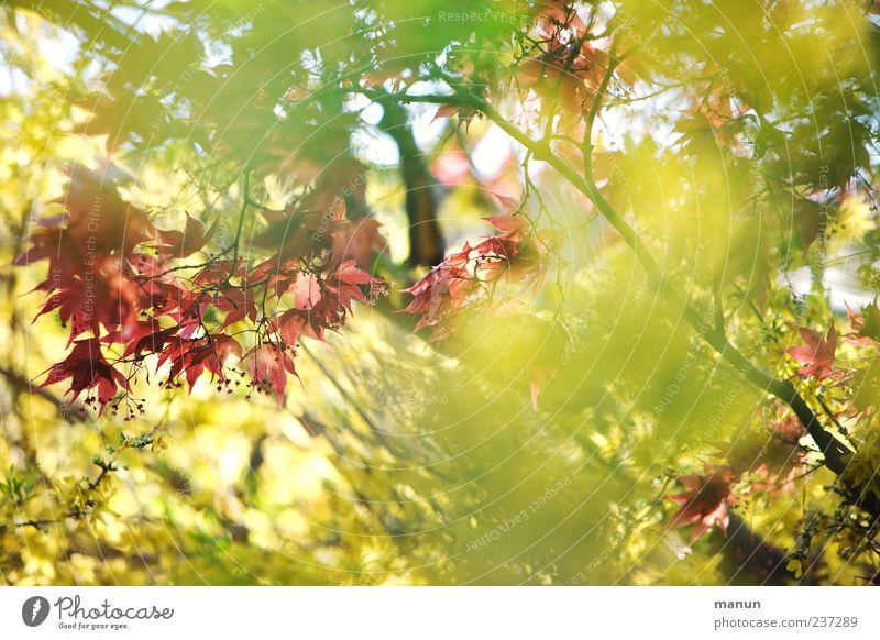 Sunshine Natur Pflanze grün schön rot Blatt gelb Frühling natürlich hell Sträucher Ahornblatt Frühlingsgefühle Zweige u. Äste Ahornzweig