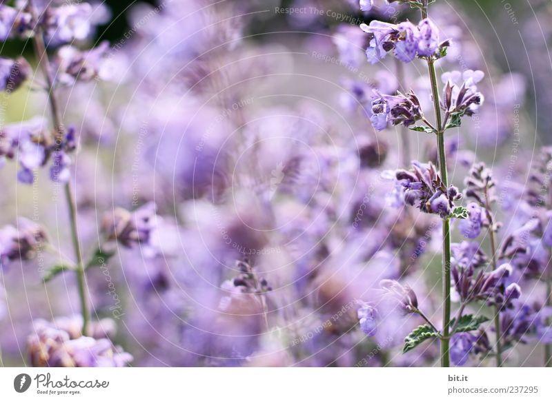 Lavendel... Natur Pflanze Blume Erholung ruhig Blüte Gesundheit Feste & Feiern Geburtstag schlafen Hochzeit Wellness violett harmonisch Duft Meditation