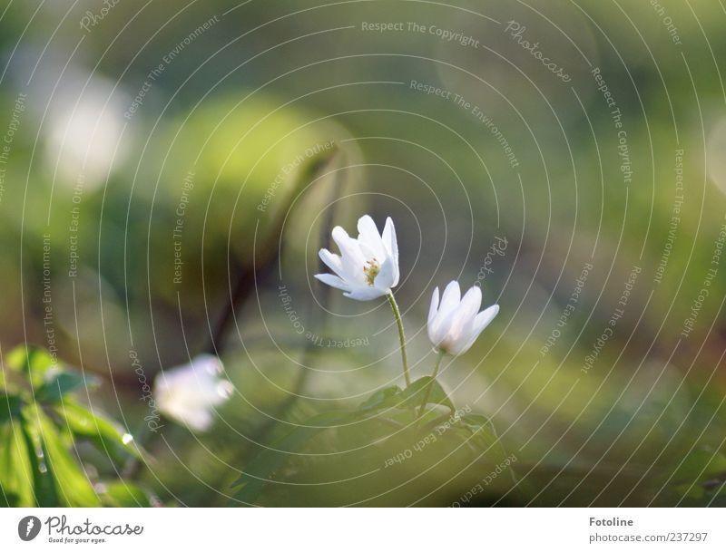 Für alle liebevollen Väter Umwelt Natur Pflanze Frühling Blume Blatt Blüte Wildpflanze hell natürlich Frühblüher Buschwindröschen Farbfoto mehrfarbig