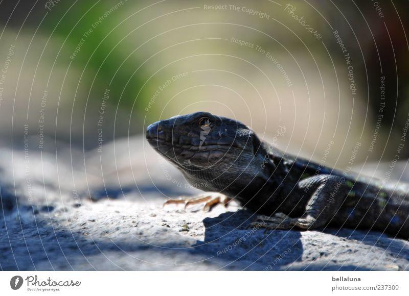 Ein ganzer Kerl! Natur Sommer Tier Sand Wildtier sitzen Pause Schönes Wetter ruhen Teneriffa Echte Eidechsen