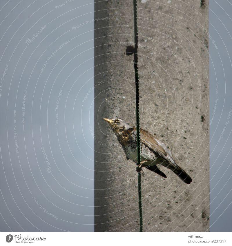 wacholderdrossel auf dem strich blau Tier grau Vogel braun sitzen Beton beobachten Wachsamkeit Drahtseil Ornithologie Drossel Wacholderdrossel