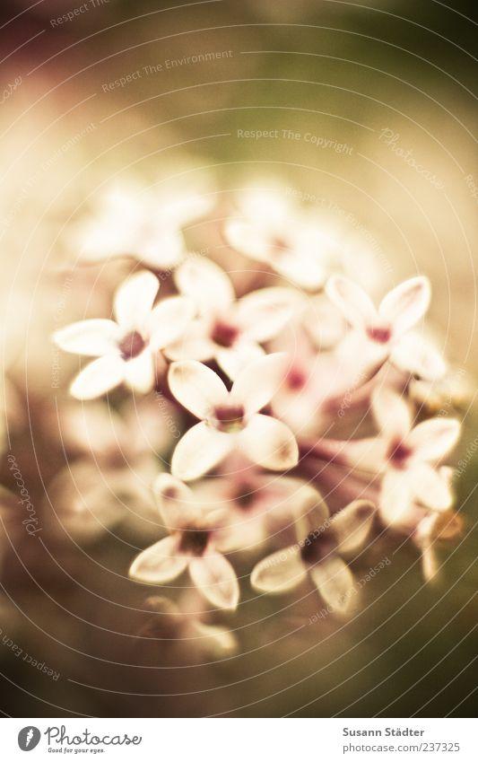 Daydream Pflanze Blume Blüte Tilt-Shift Makroaufnahme Außenaufnahme Nahaufnahme Detailaufnahme Menschenleer Unschärfe Schwache Tiefenschärfe Zentralperspektive