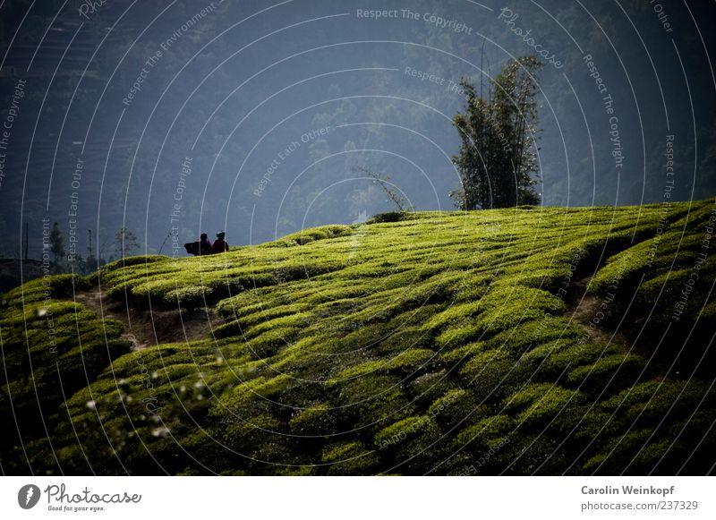 Tee. Landschaft Nutzpflanze Feld Hügel schön authentisch Ernte Wege & Pfade Nepal Asien Farbfoto Außenaufnahme Teeplantage Menschenleer Reisefotografie