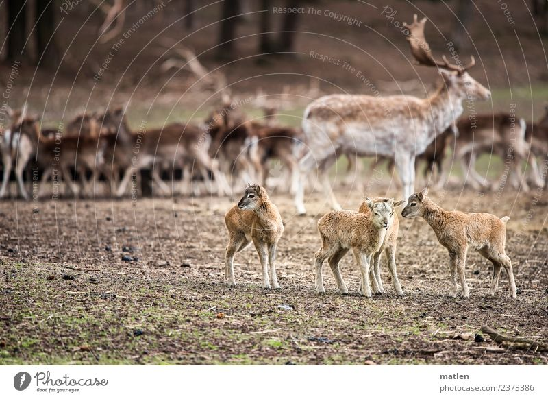 Musketiere Landschaft Tier Frühling Gras Hügel Wildtier Tiergruppe Herde stehen Dammwild Rehkitz Sitzung Farbfoto Gedeckte Farben Außenaufnahme Menschenleer