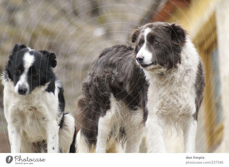 schäferhunde Tier Haustier Hund 2 Partnerschaft Fell Zusammenhalt Rudel Farbfoto Außenaufnahme Menschenleer Schwache Tiefenschärfe Tierporträt Tierpaar Haushund
