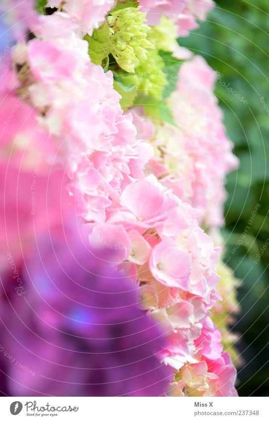Frühlingsfarben grün Blume Blüte rosa violett Blühend Duft Blütenblatt Muster Farbenspiel Hortensie Frühlingsblume Hortensienblüte