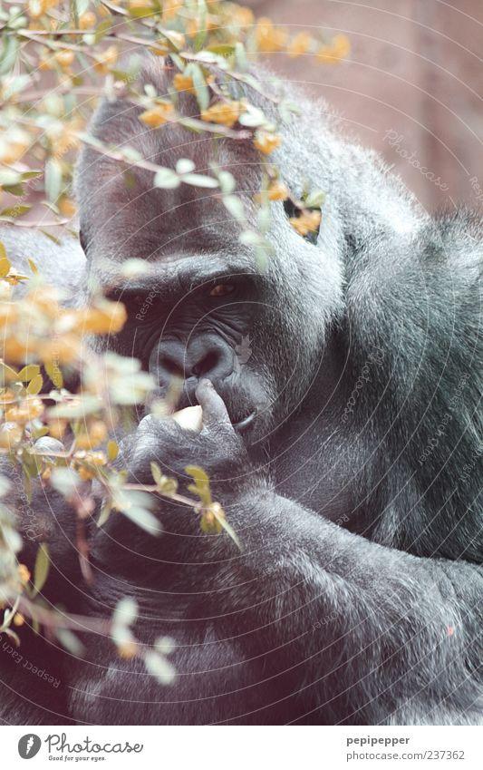traurig Frucht Sommer Tier Wildtier Tiergesicht Pfote Zoo 1 Gorilla Affen Farbfoto Außenaufnahme Nahaufnahme Tag Sonnenlicht Schwache Tiefenschärfe
