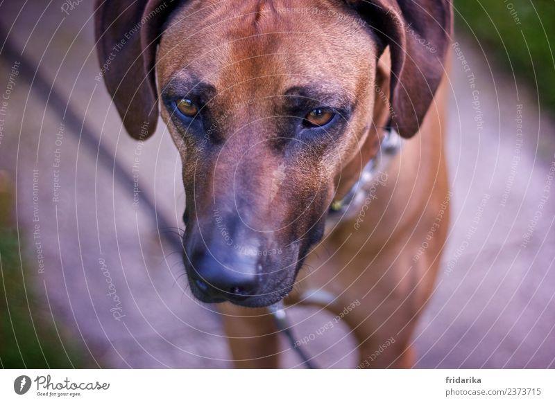 Blick nach vorn Haustier Hund 1 Tier stehen Freundlichkeit kuschlig niedlich braun schwarz Fell Hängeohr Hundenase Hundeschnauze Hundeblick Hundekopf Hundeauge