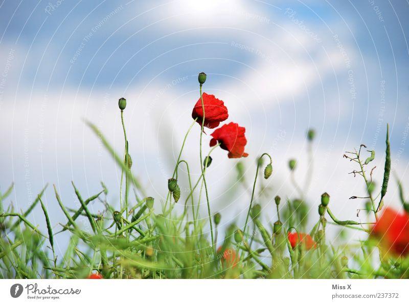 Mohn Natur Pflanze Himmel Sommer Blume Blatt Blüte Wiese Feld Blühend Duft Wachstum grün rot Mohnblüte Mohnfeld Farbfoto mehrfarbig Außenaufnahme Menschenleer