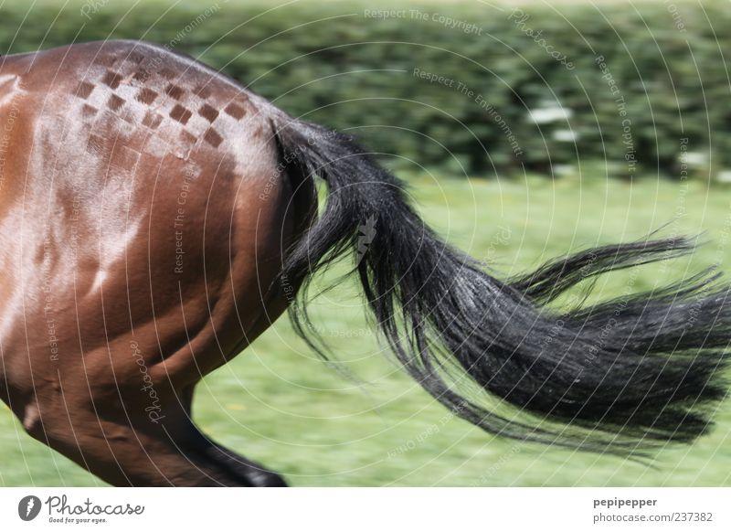 geschwindigkeit zum quadrat Sommer Tier Sport Bewegung Gras Kunst Linie braun glänzend elegant laufen Ausflug Geschwindigkeit Sträucher Pferd Fell