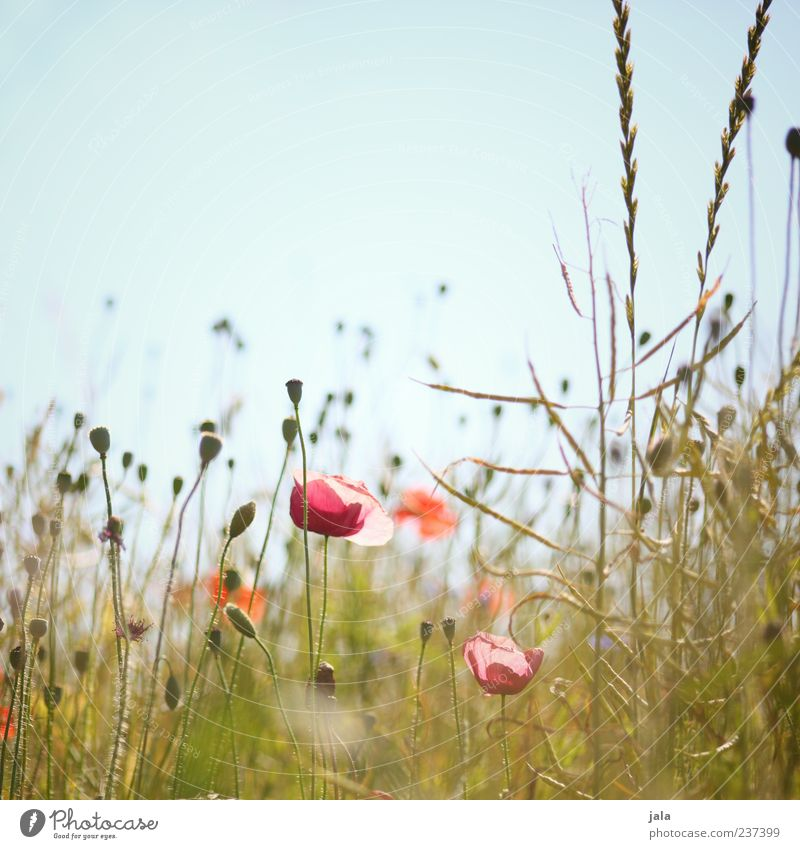 frühlingswiese Himmel Natur schön Pflanze Sommer Blume Landschaft Wiese Gras Idylle Lebensfreude Wolkenloser Himmel Freude Mohnfeld Mohnblüte