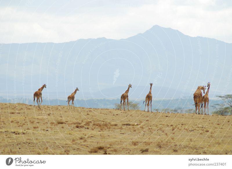 6 auf einen Streich Freiheit Umwelt Natur Landschaft Sand Himmel Wolken Sommer Pflanze Baum Sträucher Berge u. Gebirge Tier Wildtier Tiergruppe Bewegung gehen