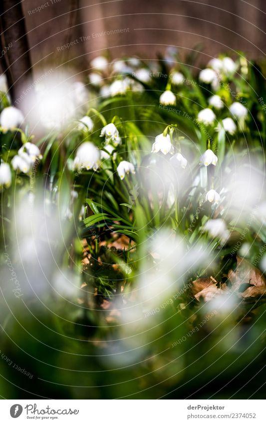 Märzenbecherblüte in Niedersachsen Ferien & Urlaub & Reisen Tourismus Ausflug Abenteuer Ferne Freiheit Berge u. Gebirge wandern Umwelt Natur Landschaft Pflanze