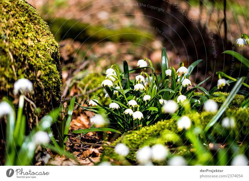 Märzenbecherblüte in Niedersachen Ferien & Urlaub & Reisen Tourismus Ausflug Abenteuer Freiheit Berge u. Gebirge wandern Umwelt Natur Landschaft Pflanze