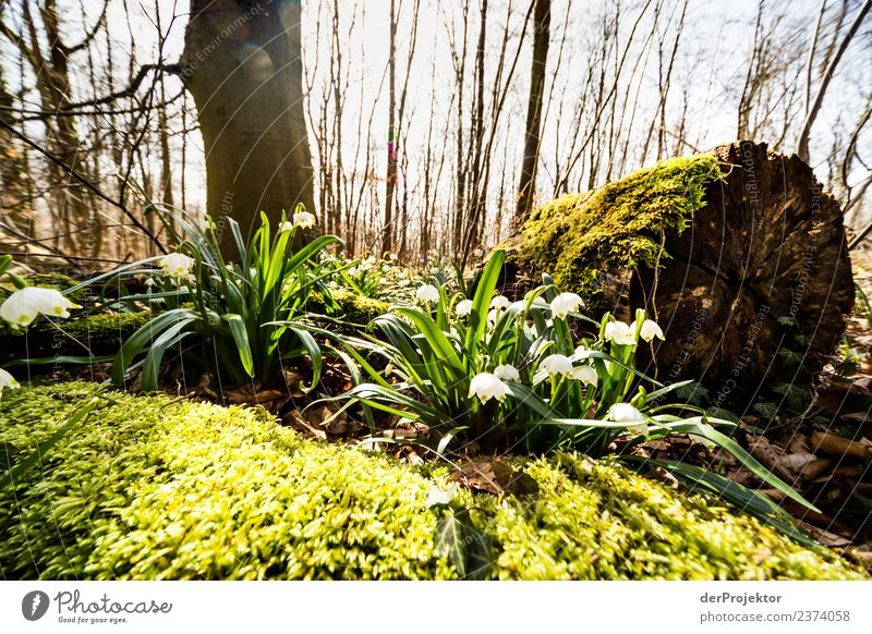 Märzenbecherblüte auf dem Schweinsberg Ferien & Urlaub & Reisen Tourismus Ausflug Freiheit Berge u. Gebirge wandern Umwelt Natur Landschaft Pflanze Tier