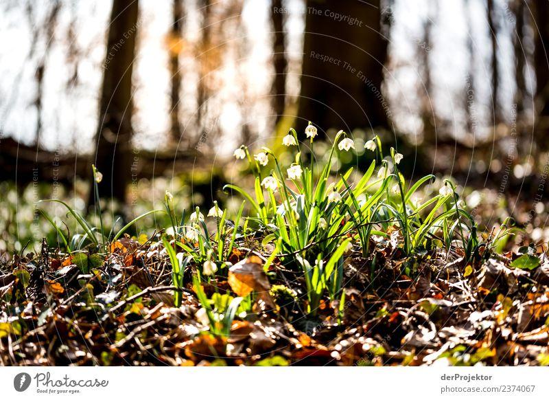 Märzenbecherblüte im Gegenlicht Natur Ferien & Urlaub & Reisen Pflanze Landschaft Blume Freude Ferne Wald Berge u. Gebirge Umwelt Frühling Blüte Gefühle Glück