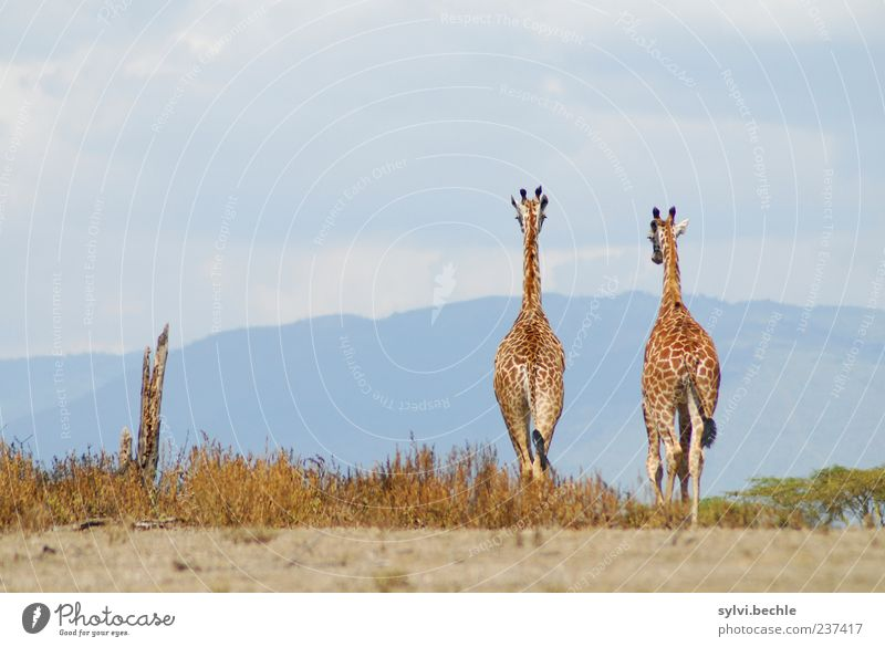 bis bald! Himmel Natur Ferien & Urlaub & Reisen Sommer Tier Wolken Umwelt Landschaft Bewegung Freiheit gehen Tierpaar Wildtier laufen groß Sträucher