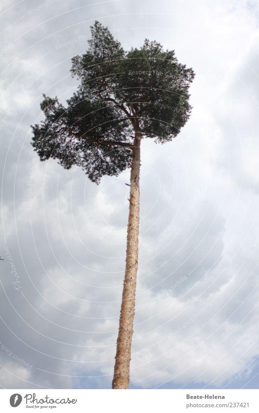 Himmelsstürmer Natur blau grün Baum Wolken Gefühle grau braun außergewöhnlich hoch Wachstum einzigartig Neugier lang dünn