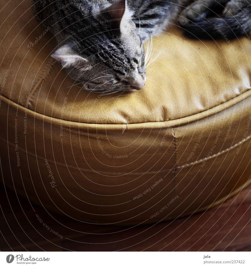 ob katzen von mäusen träumen? Tier Haustier Katze Tiergesicht 1 genießen liegen schlafen schön Vertrauen Geborgenheit Warmherzigkeit Tierliebe Farbfoto