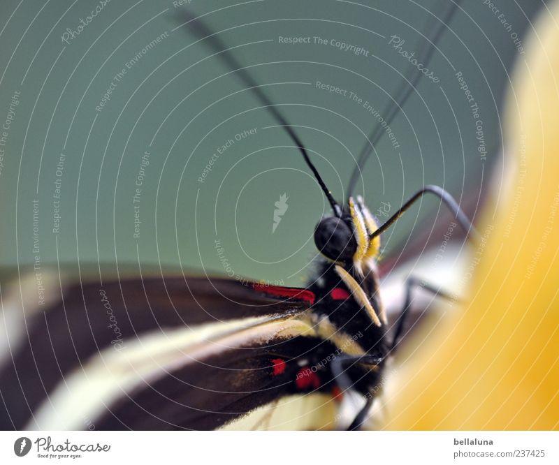 Mallorcatourist! Natur Tier Wildtier Schmetterling 1 ästhetisch außergewöhnlich Duft elegant exotisch fantastisch hell schön einzigartig nah natürlich gelb rot