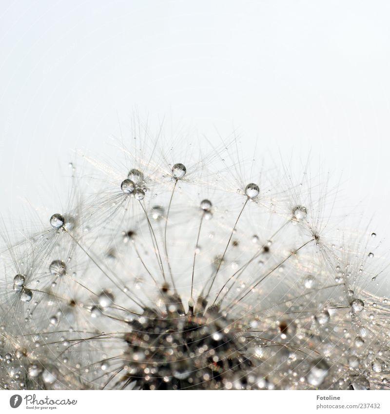 Pustekristalle Umwelt Natur Pflanze Urelemente Wasser Himmel Wolkenloser Himmel Sommer Blume Wildpflanze hell nass natürlich Löwenzahn Samen Kristalle Farbfoto