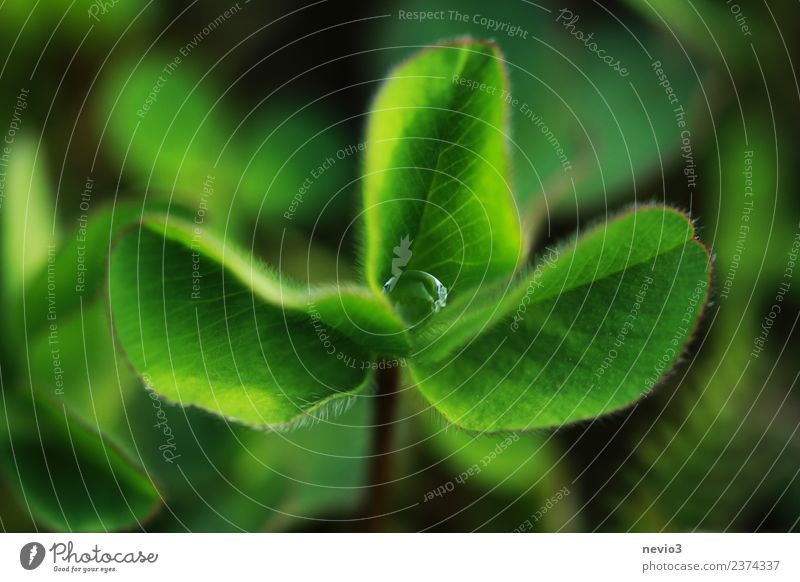 Kleeblatt mit Wassertropfen in der Mitte Gesundheit Sommer Umwelt Natur Pflanze Gras Blatt Grünpflanze Nutzpflanze Wildpflanze Garten Park Wiese Feld springen