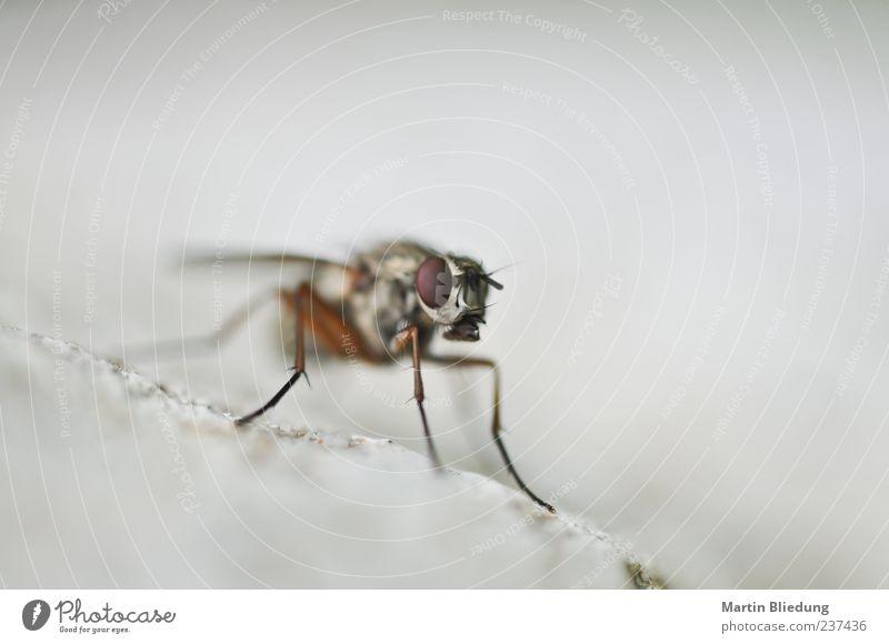 particular was here.... Tier Fliege 1 braun grau weiß Beine Facettenauge Wildtier Insekt Textfreiraum links Hintergrund neutral Gedeckte Farben Makroaufnahme