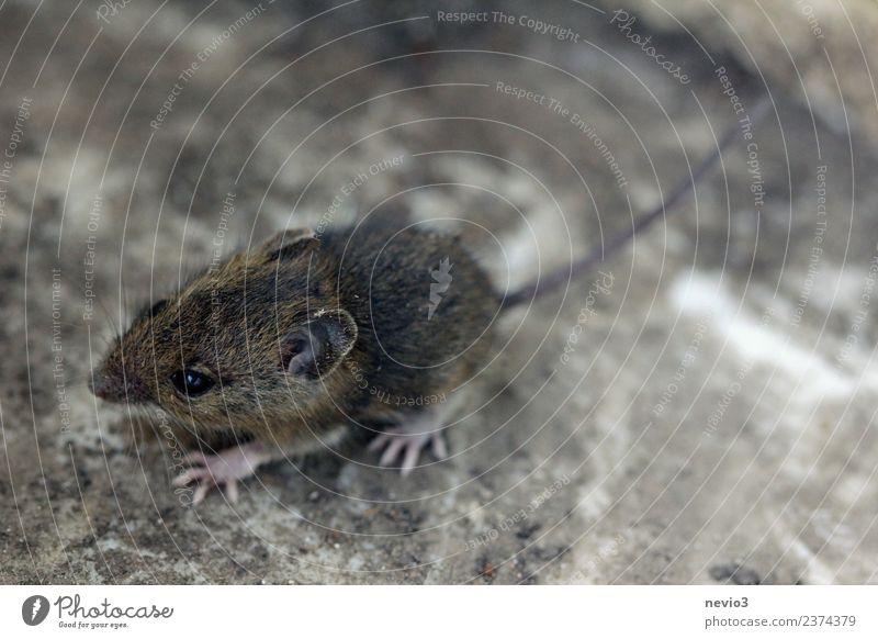 Kleine Feldmaus Umwelt Natur Erde Garten Tier Wildtier Maus 1 laufen rennen schön kuschlig klein Geschwindigkeit weich braun Tierliebe Erdmaus Nagetiere Fell