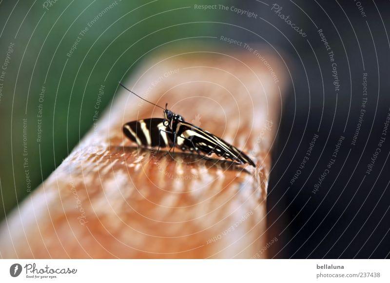 Zebraschmetterling Natur weiß grün schön Tier schwarz hell braun Wildtier elegant sitzen außergewöhnlich natürlich frei ästhetisch Flügel