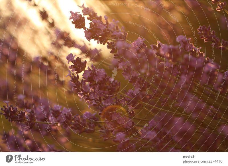 Lavendelblüten im Licht deruntergehenden Sonne Umwelt Natur Sommer Pflanze Gras Sträucher Blüte Grünpflanze Nutzpflanze Garten schön gelb gold Lavendelfeld