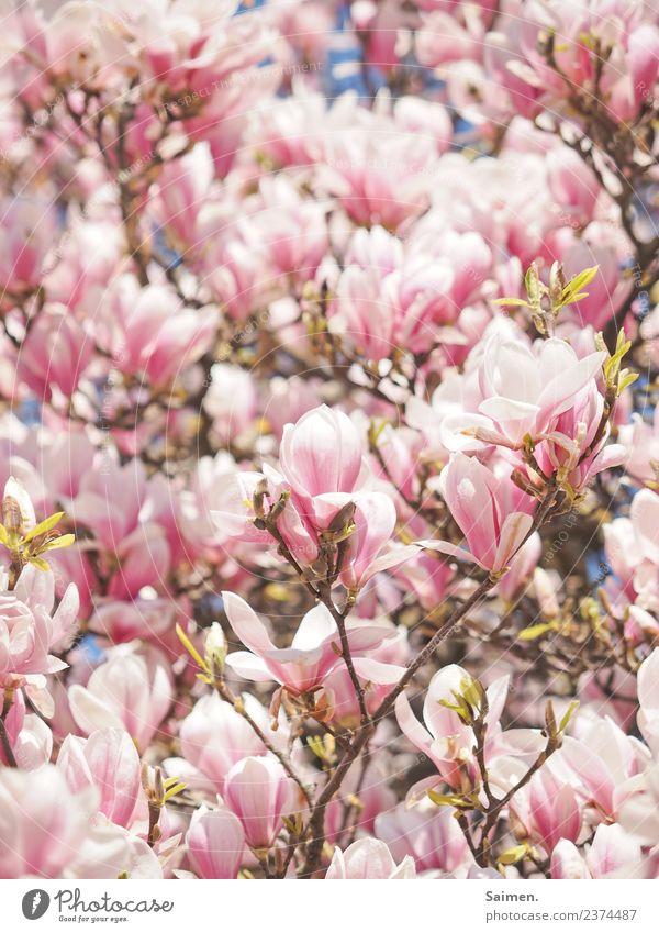 Magnolienblüten Magnolienbaum Blüte Zweige ast Farbfoto Natur Park Blatt Garten Frühling Tag Schönes Wetter Sonnenlicht rosa weiss schön