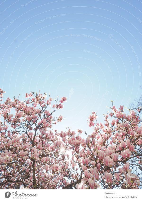Magnolienblüten baum Magnolienbaum Blüte blühen äste ast zweig Farbfoto Natur Frühling rosa weiss Himmel blauer Himmel Detailaufnahme