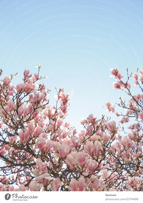 Magnolienblüte Blüte blühen baum Magnolienbaum ast zweig Natur rosa Farbfoto weiss schön leben gedeihen Detailaufnahme Garten Park