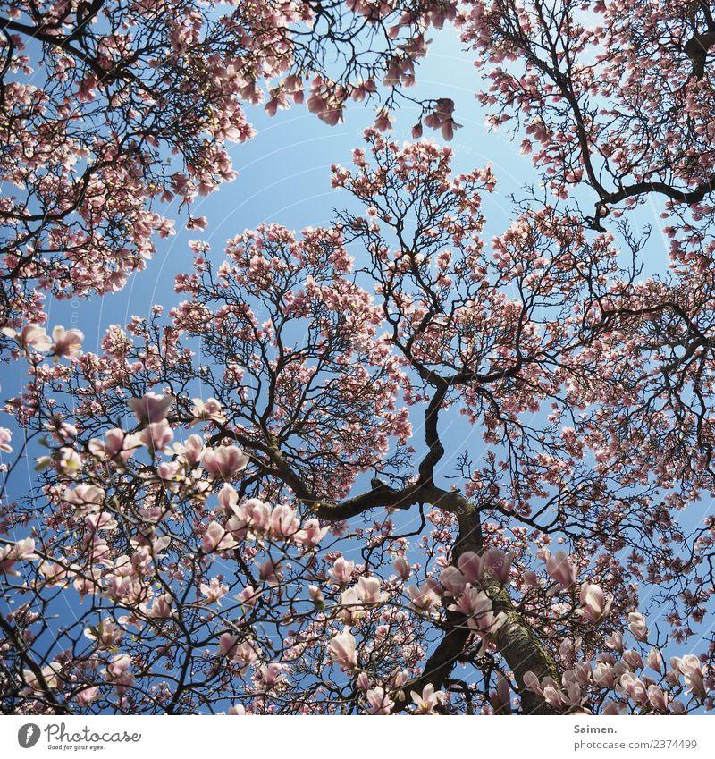 Magnolienblüte Magnolienbaum Blüte blühen Blütenblatt äste Zweige Natur Farbfoto Himmel blau Tag Frühling rosa weiß leben