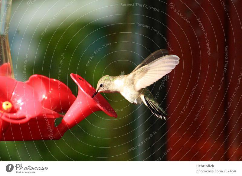Kolibri trinken Saft Tier Sommer Blume Kunstblume Wildtier Vogel Flügel 1 fliegen füttern ästhetisch elegant natürlich niedlich gold grün rot Farbfoto