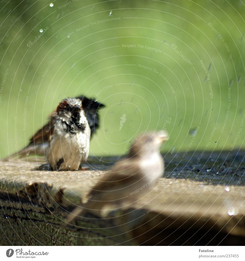 Badespaß Umwelt Natur Tier Urelemente Wasser Wassertropfen Sommer Park Vogel hell nah nass natürlich braun grün Spatz Brunnen Stein Farbfoto mehrfarbig