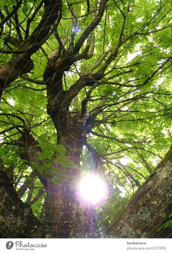 Sonntag Natur Sonne Frühling Sommer Baum leuchten frisch groß hoch braun grün Kraft Warmherzigkeit ruhig Farbfoto Außenaufnahme Tag Sonnenstrahlen