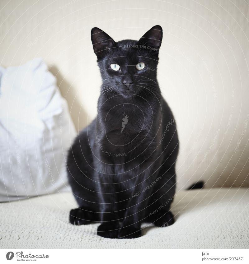 being pretty Sofa Tier Haustier Katze 1 Blick sitzen ästhetisch elegant schön schwarz Hauskatze Farbfoto Innenaufnahme Menschenleer Tag Tierporträt