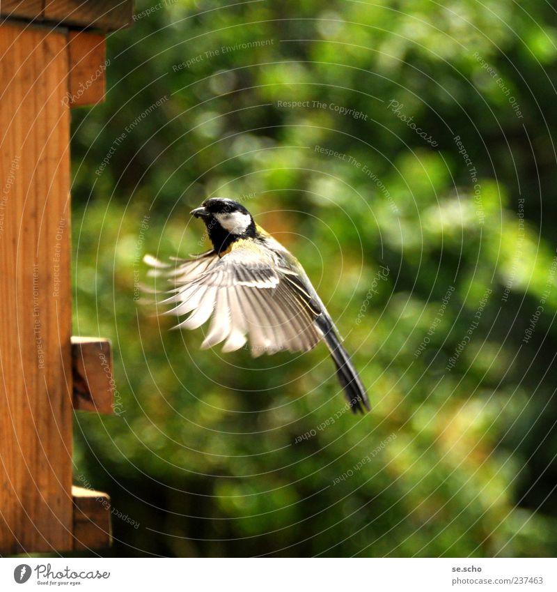 Anflug Tier Vogel anstrengen Bewegung Meisen Kohlmeise Futter füttern fliegen Anmut Geschicklichkeit Geschwindigkeit Farbfoto mehrfarbig Außenaufnahme