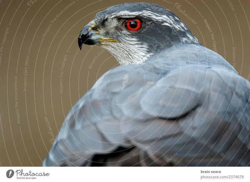 Habicht Umwelt Natur Tier Wald Wildtier Vogel Habichte 1 Tierliebe Avenue Tiere Tierwelt Akkordata Wirbeltier Wirbeltiere Europa Europäer Auge Kopf Feder