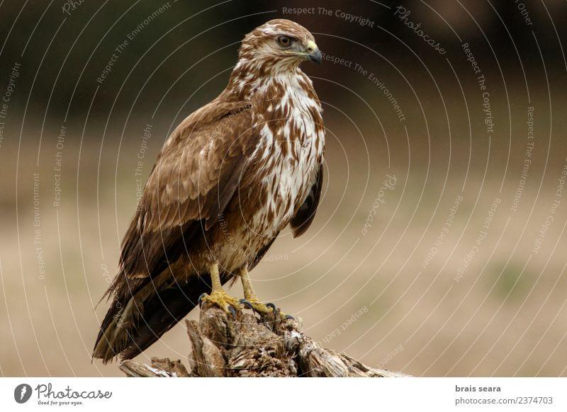 Mäusebussard Wissenschaften Biologie Ornithologie Umwelt Natur Tier Wald Wildtier Vogel Tiergesicht Flügel Greifvogel 1 frei Tierliebe Avenue Wirbeltier