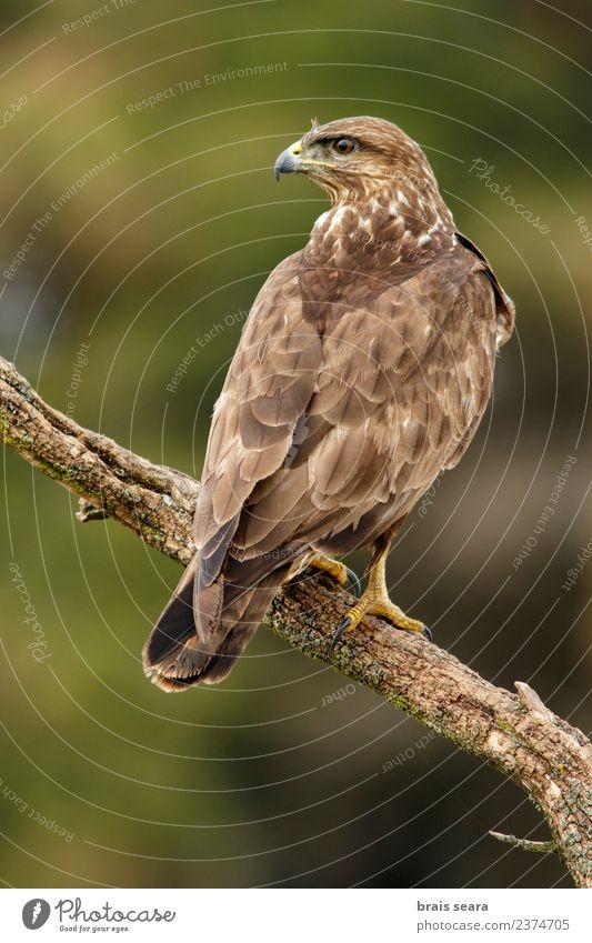 Mäusebussard Biologie Ornithologie Umwelt Natur Tier Wald Wildtier Vogel Tiergesicht Flügel Greifvogel 1 braun Tierliebe Avenue Wirbeltier Wirbeltiere Tiere